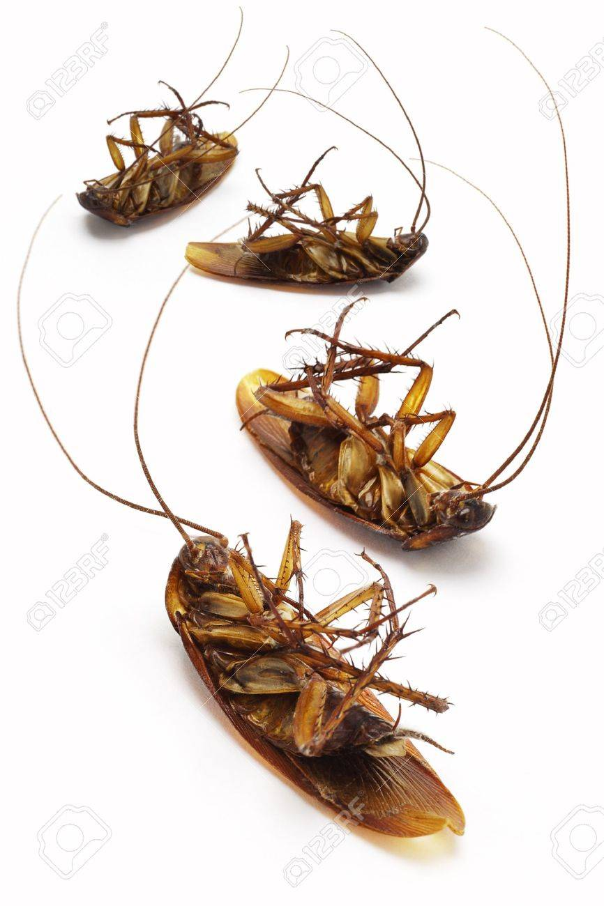 Dead cockroaches lying on white background Stock Photo - 9766478
