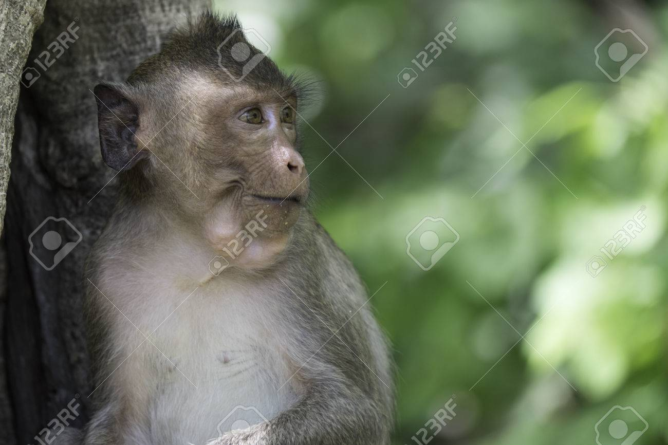 40cc1e89c339 food keep in monkey mouth Stock Photo - 36244449