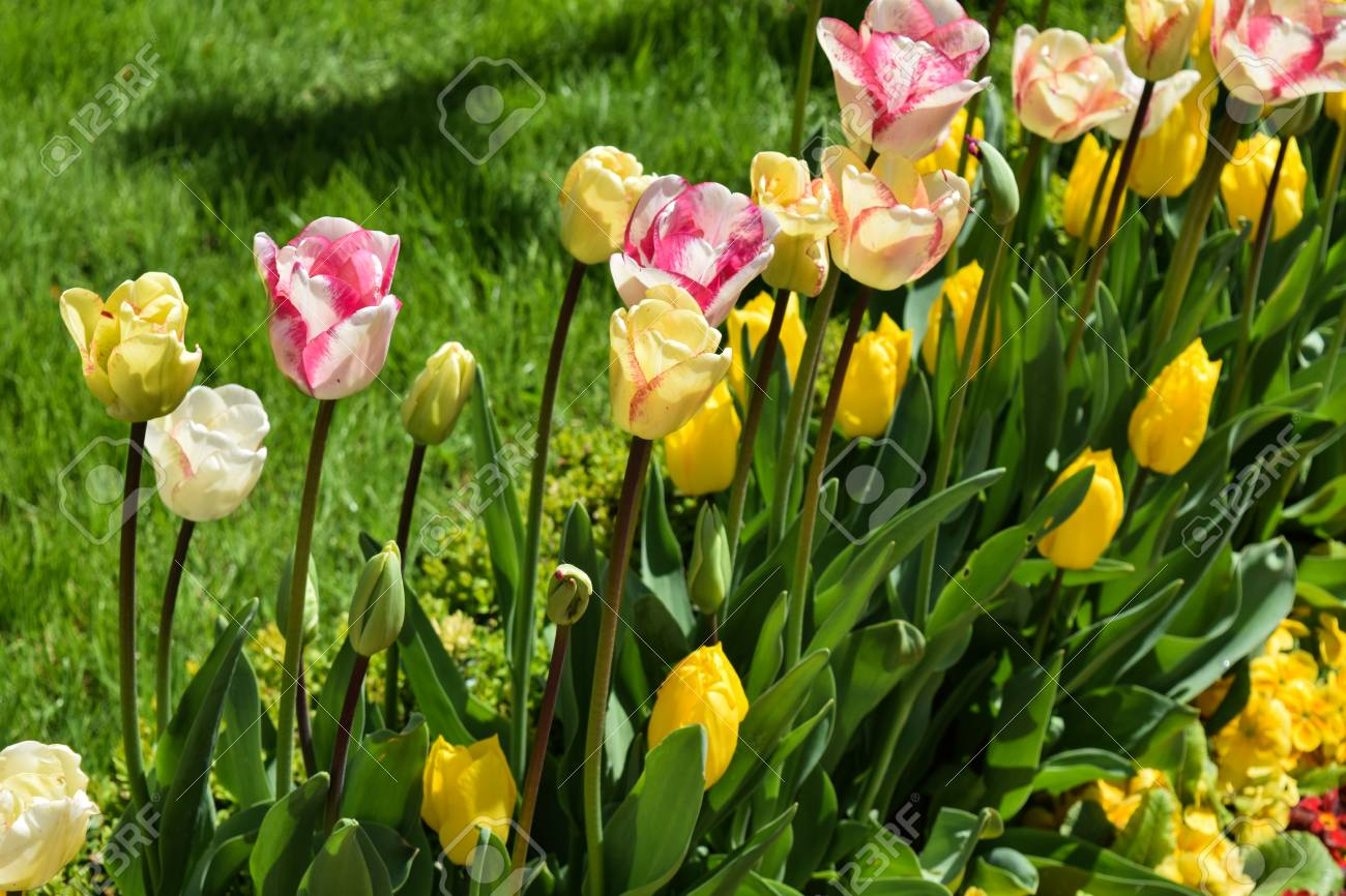 Blossoming Of Tulips Of Yellow Color, Beautiful Flowers On A.. Stock ...