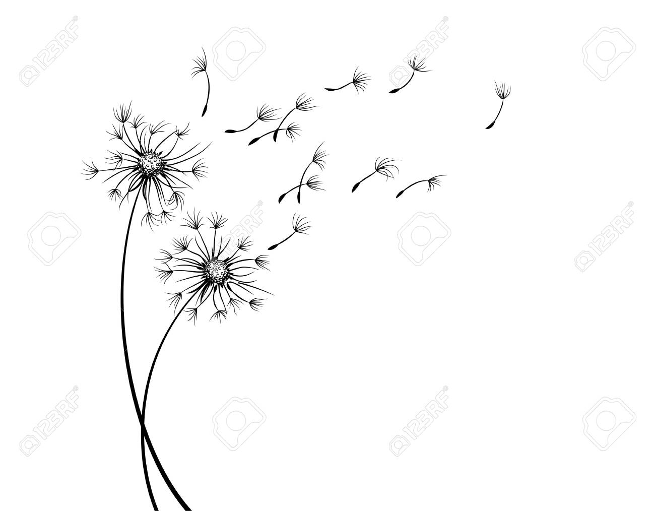The Field dandelion flower sketch with flying seeds. - 150146347