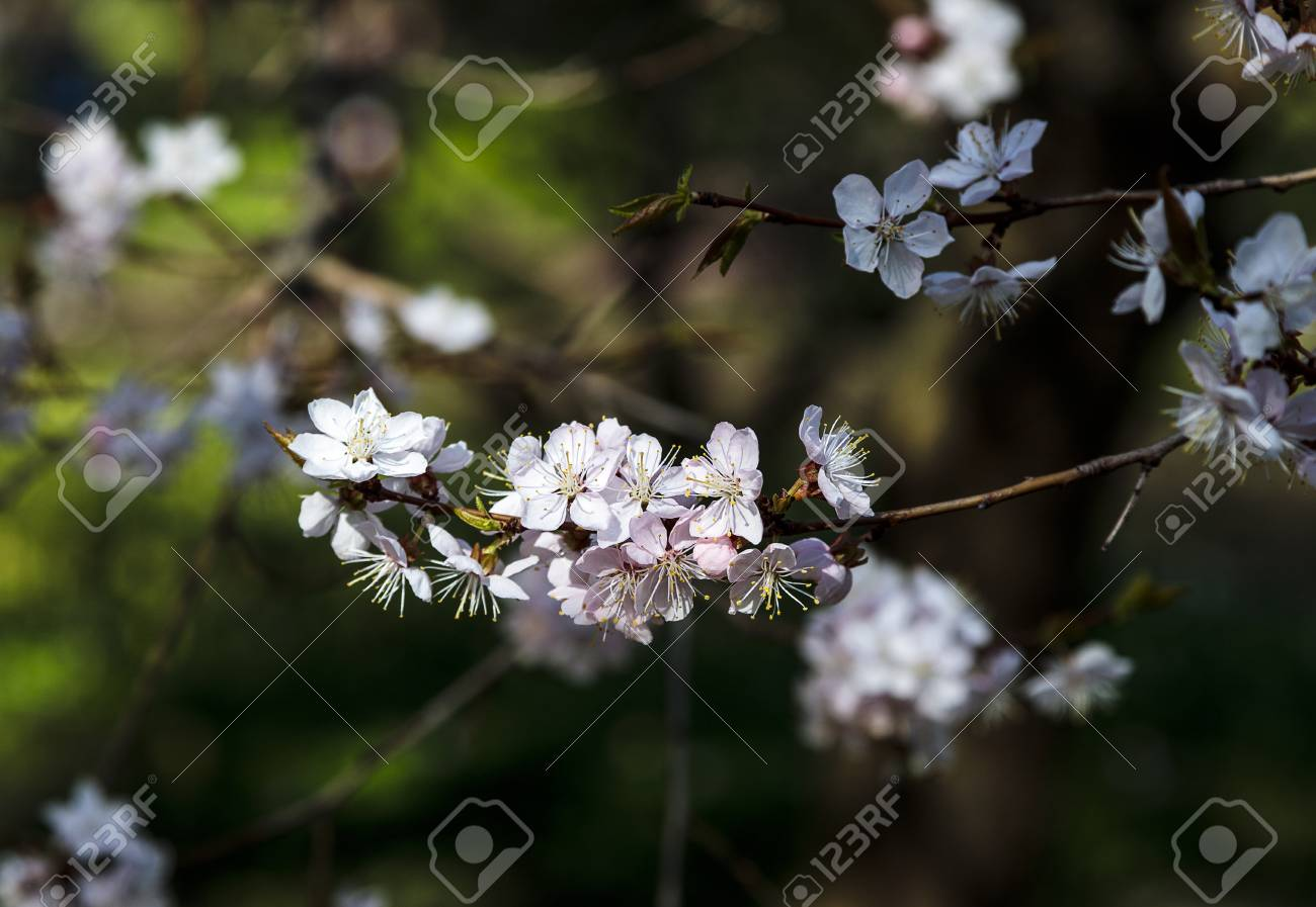 Cherry Blossom Tree In Bloom Closeup Of Sakura Flowers On Blurred
