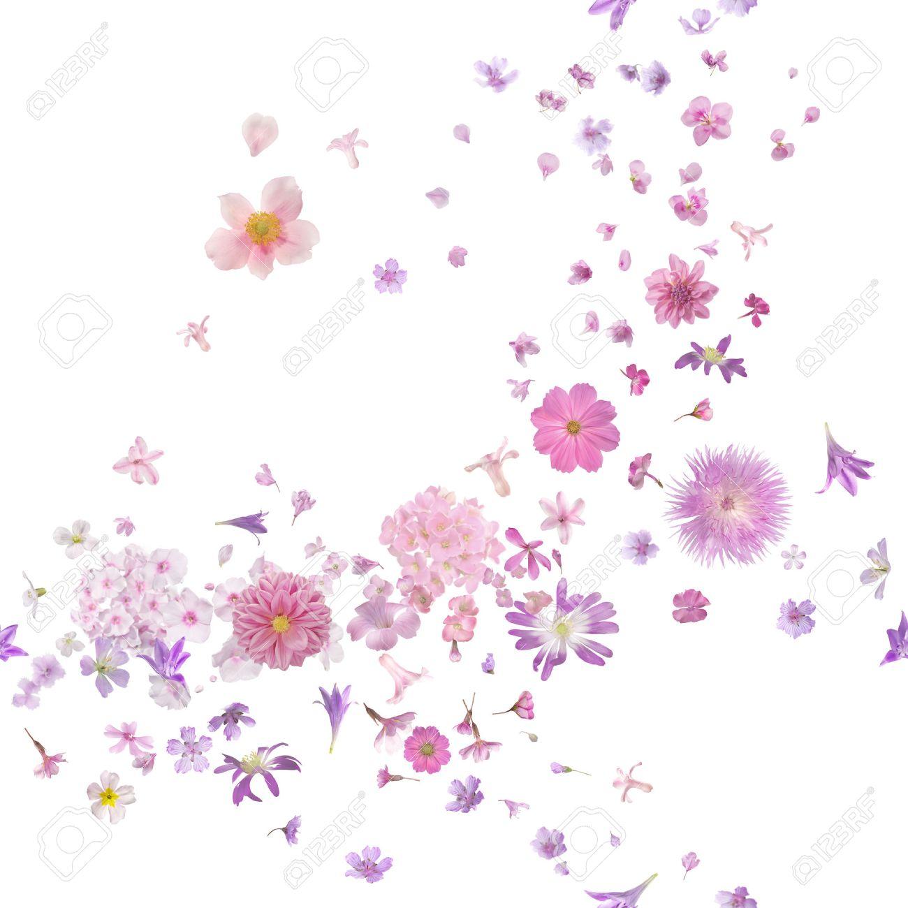 fleur rose brise de nombreux bourgeons vol de fleurs et de pétales, dans la  profondeur