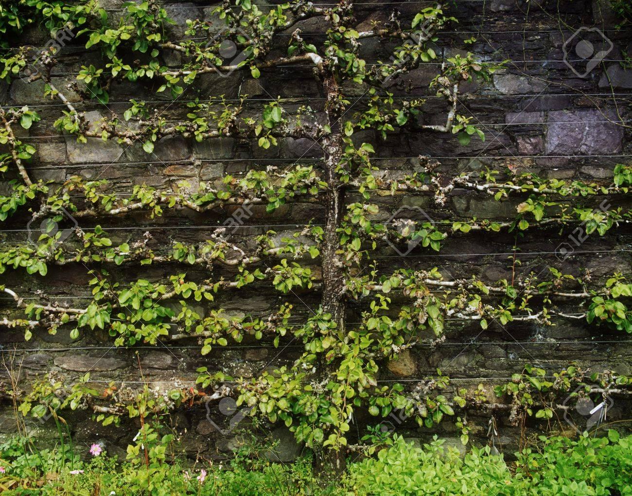 Espaliered Apple Tree Stock Photo - 7188044