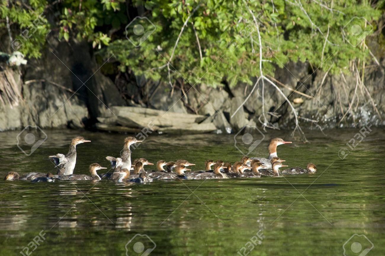 lake of the woods ontario canada ducks and ducklings on the