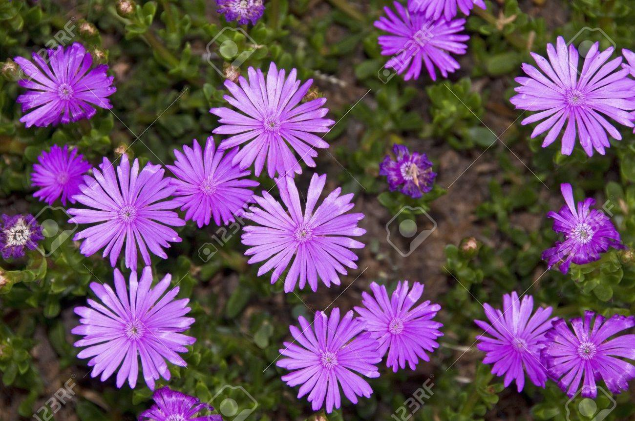 blooming purple aster flowers stock photo, picture and royalty, Beautiful flower