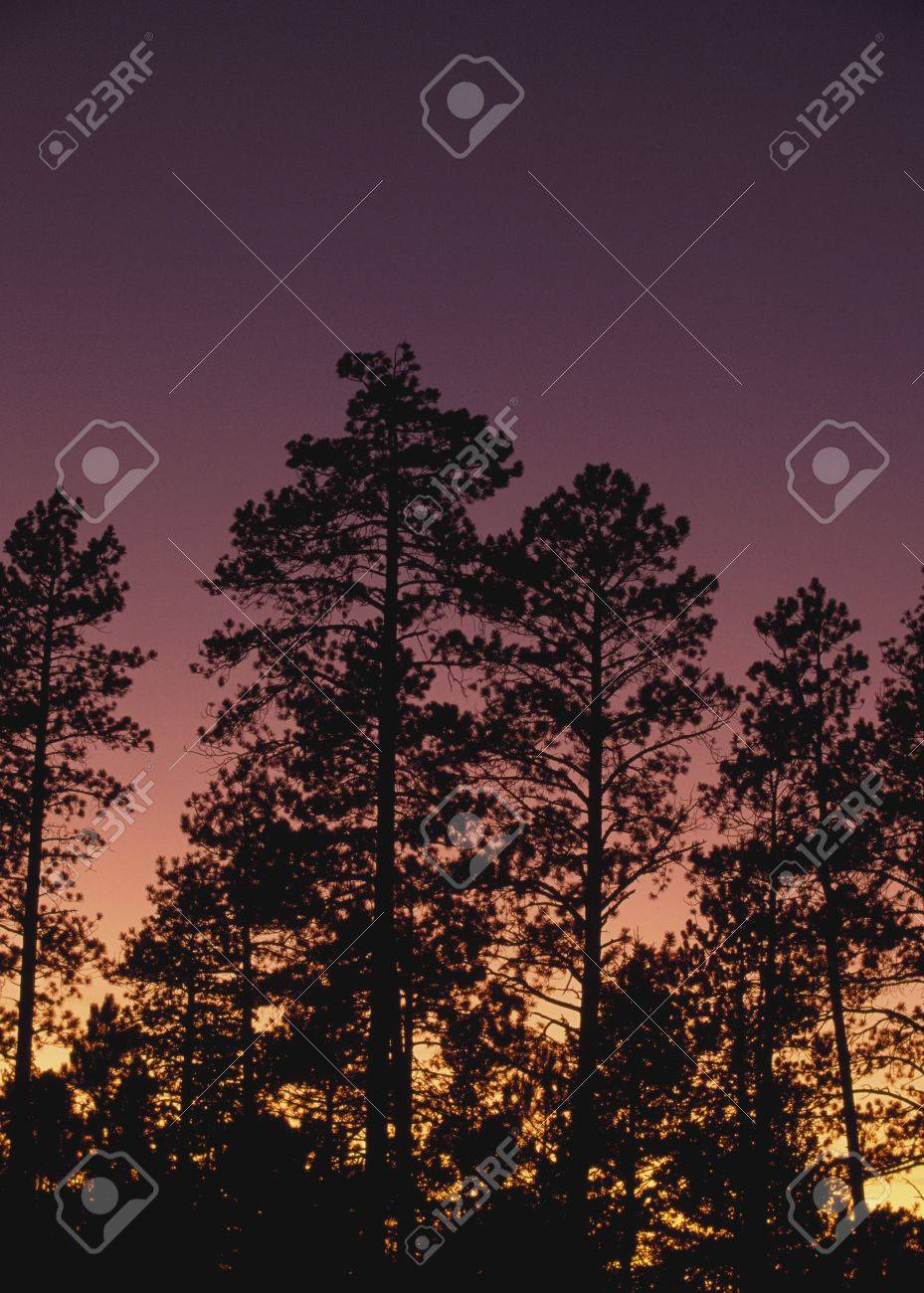 Ponderosa pine trees (Pinus ponderosa), Jemez Mountains, New Mexico, USA Stock Photo - 7191312