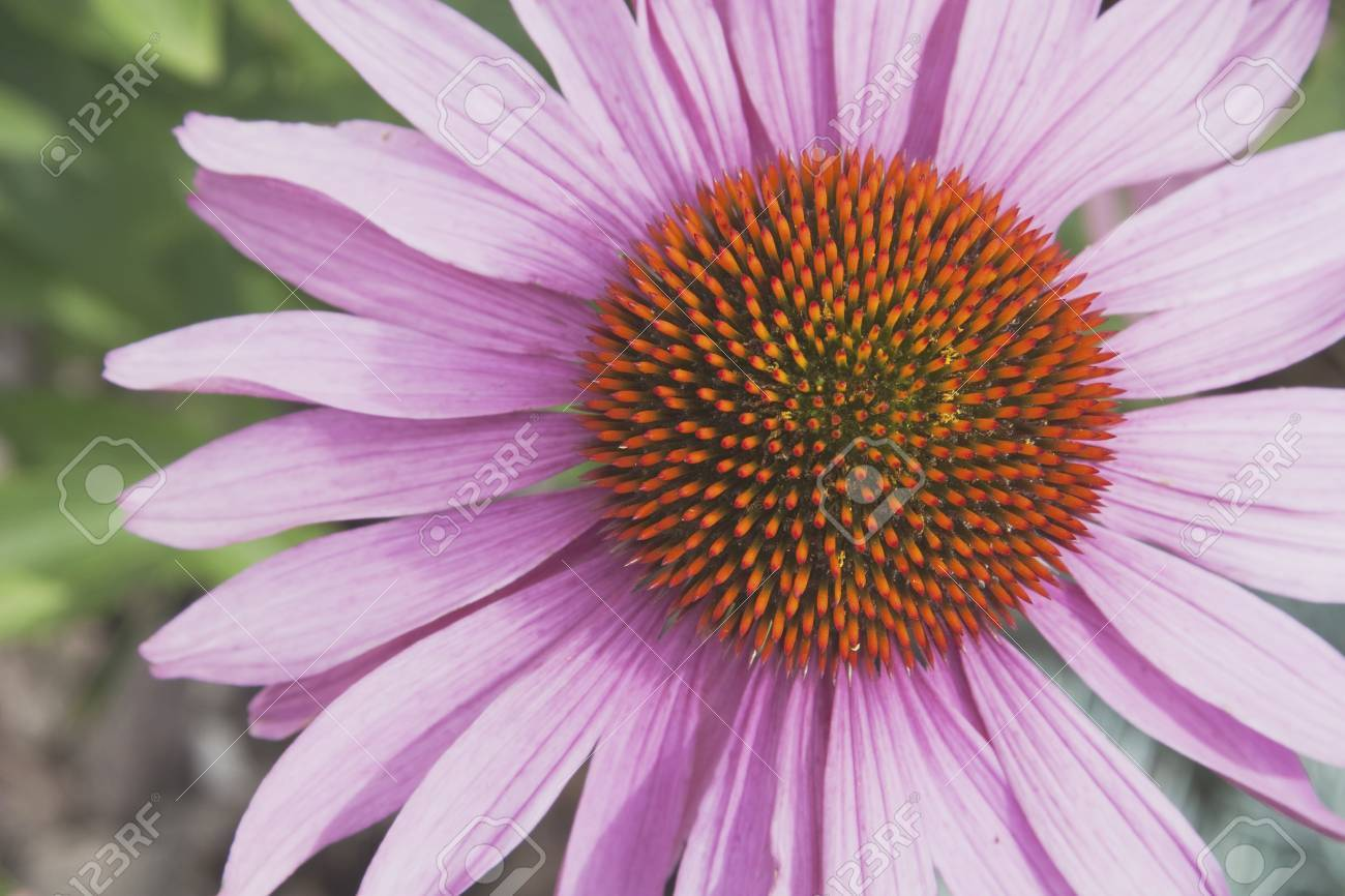 Echinacea flower (Echinacea pallida) Stock Photo - 7189888