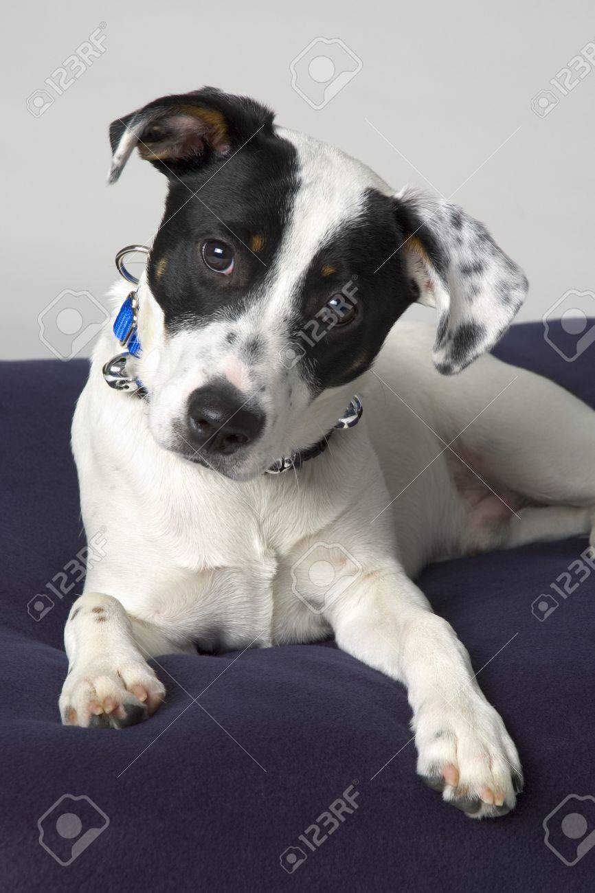 Small black and white dog stock photo 7191681
