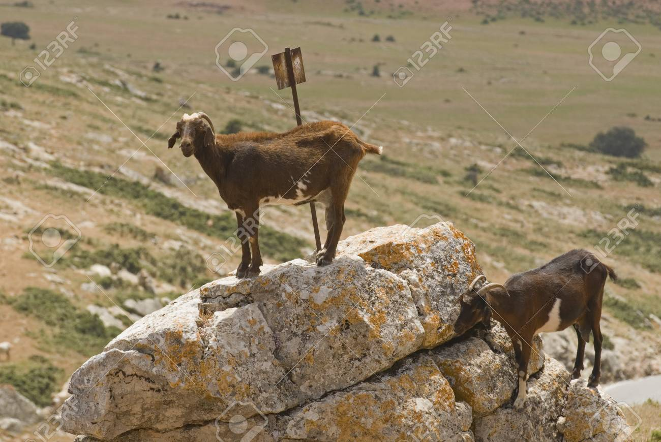 Goats in the wild Stock Photo - 7190858