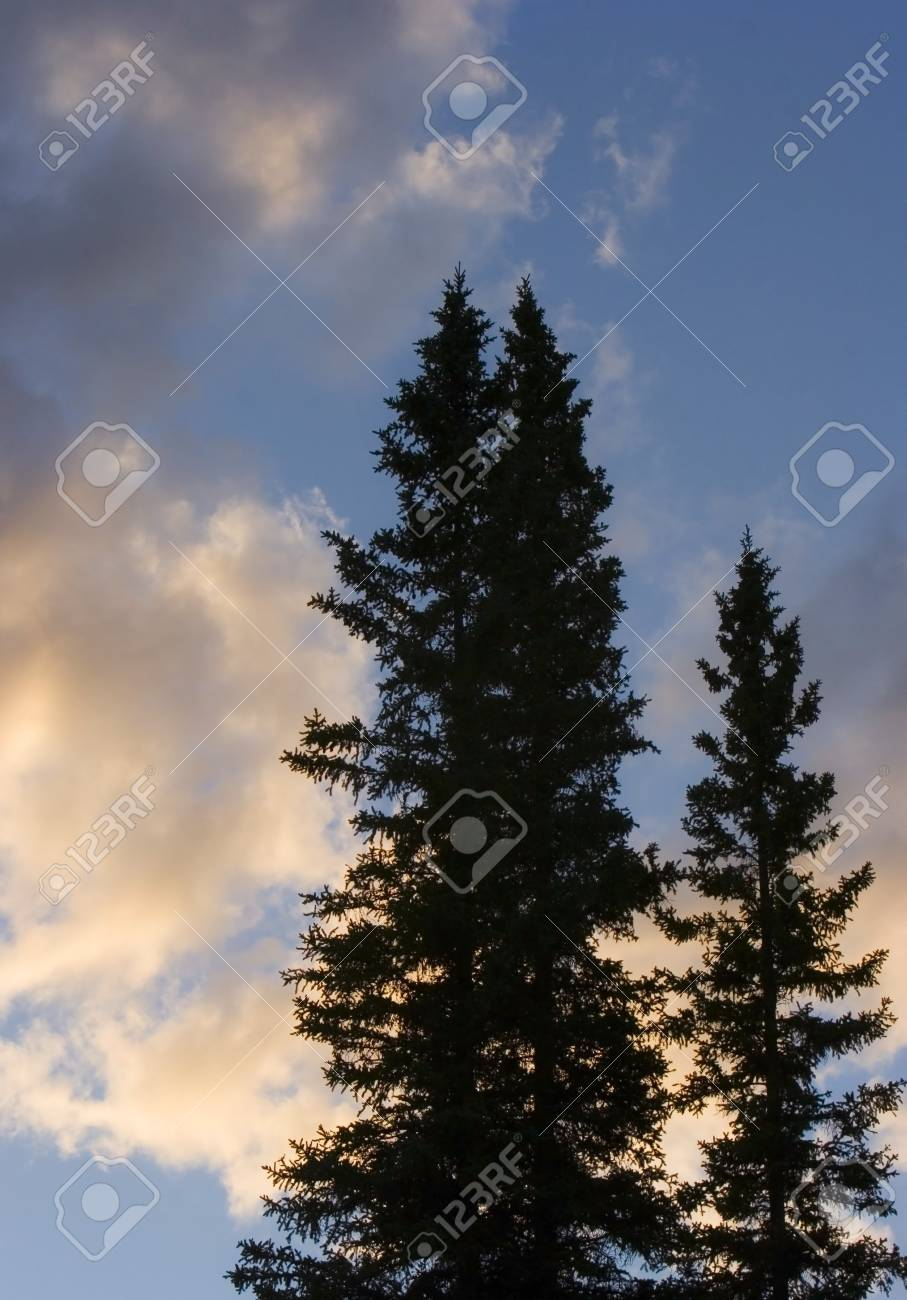 Tall trees Stock Photo - 7207314