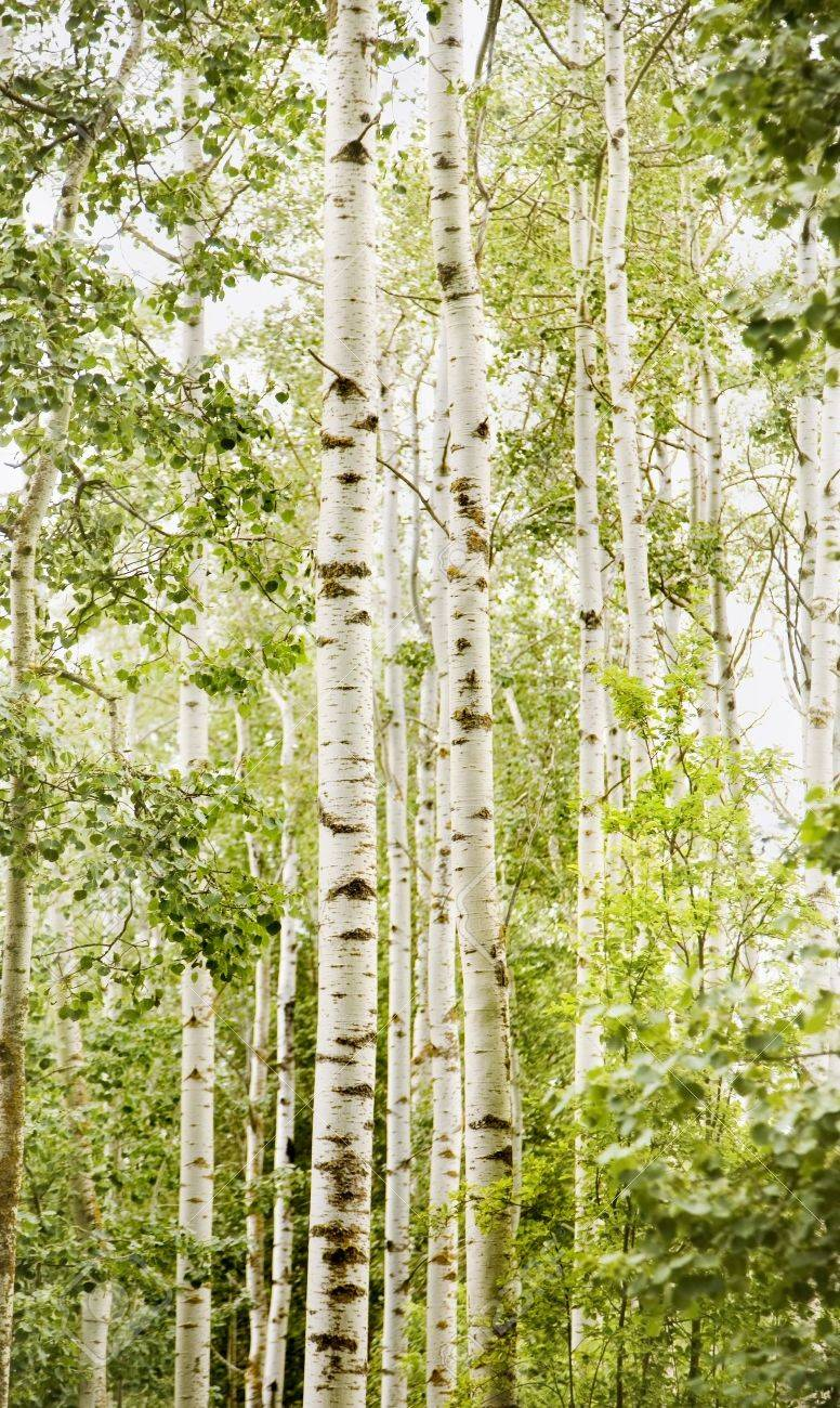 Forest of birch trees Stock Photo - 7210816