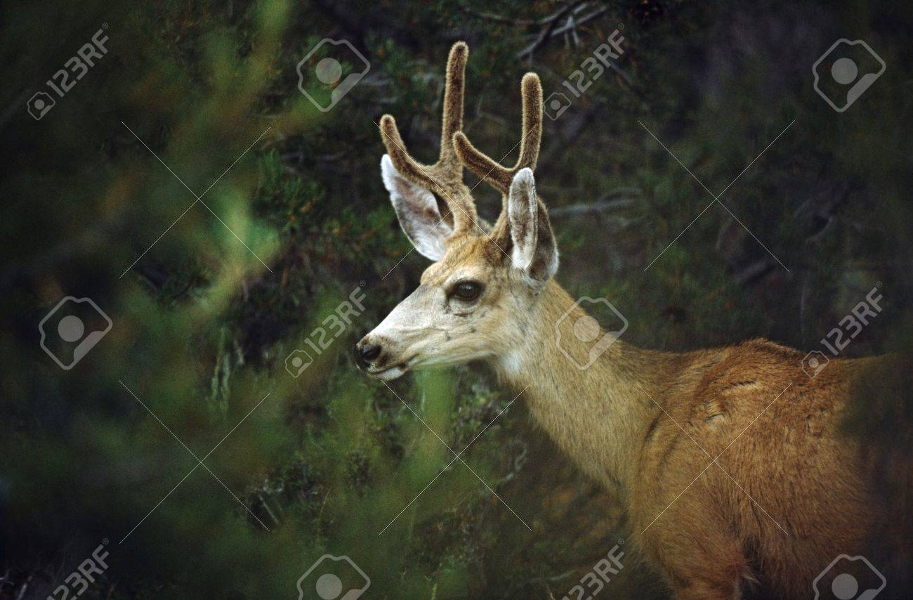 Young mule deer (Odocoilus hemionus) Stock Photo - 7551878