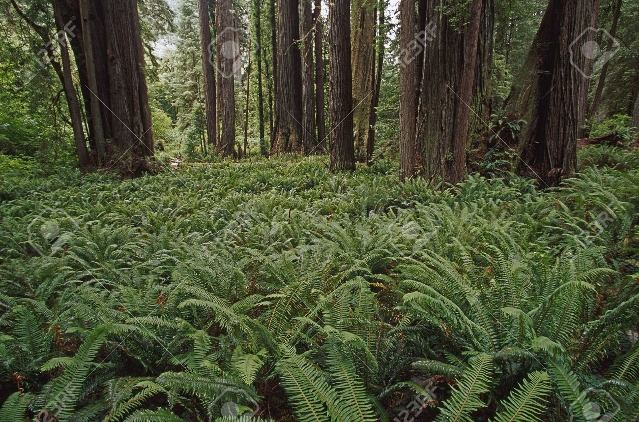 Ferns cover floor of redwood forest, California, USA Stock Photo - 7559214