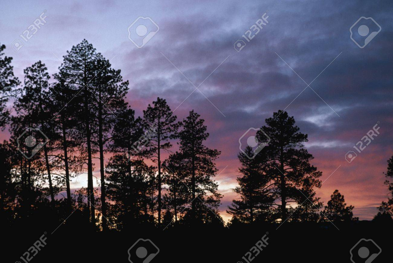Ponderosa pine silhouettes on ridge with sunset light in clouds Stock Photo - 7551710