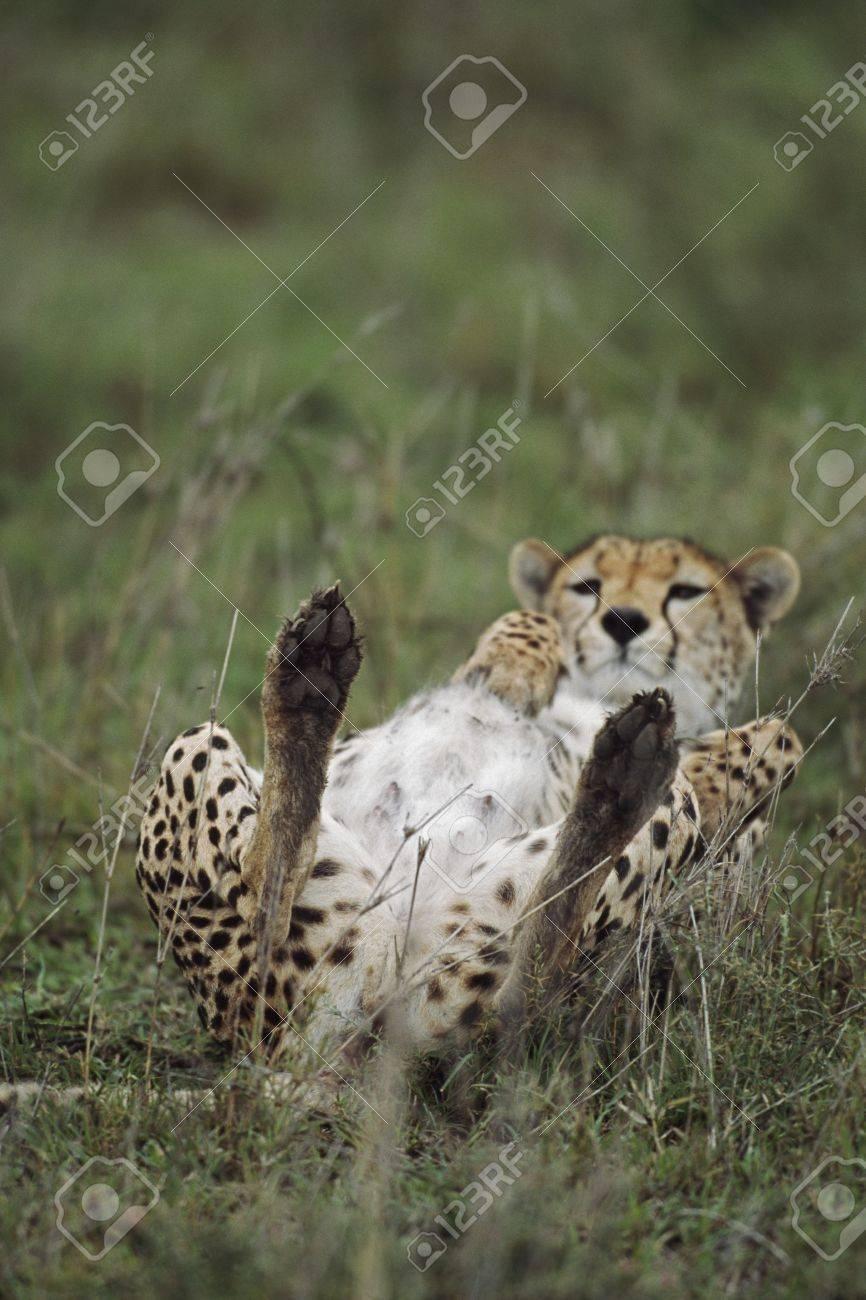 Cheetah lying on its back, Africa Stock Photo - 7559159