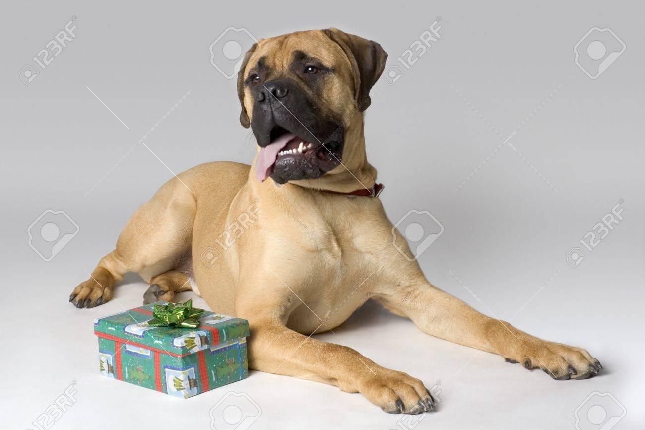 Large pedigree dog with Christmas present Stock Photo - 7551510