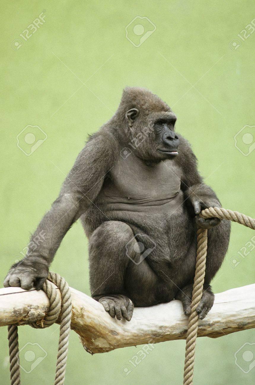 Gorilla Stock Photo - 7559531