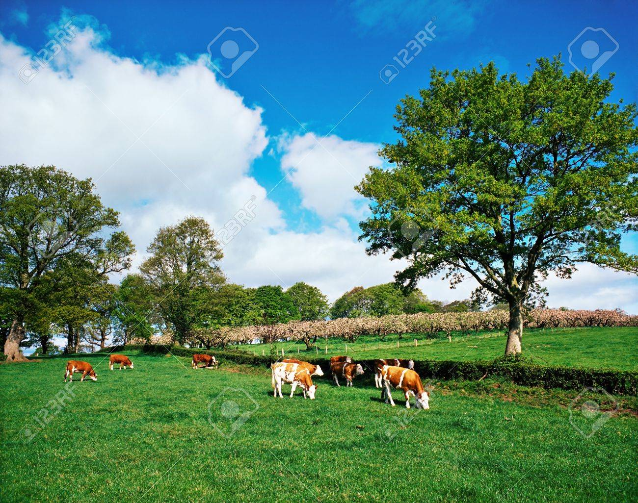 Hereford bullocks, Ireland Stock Photo - 8244064