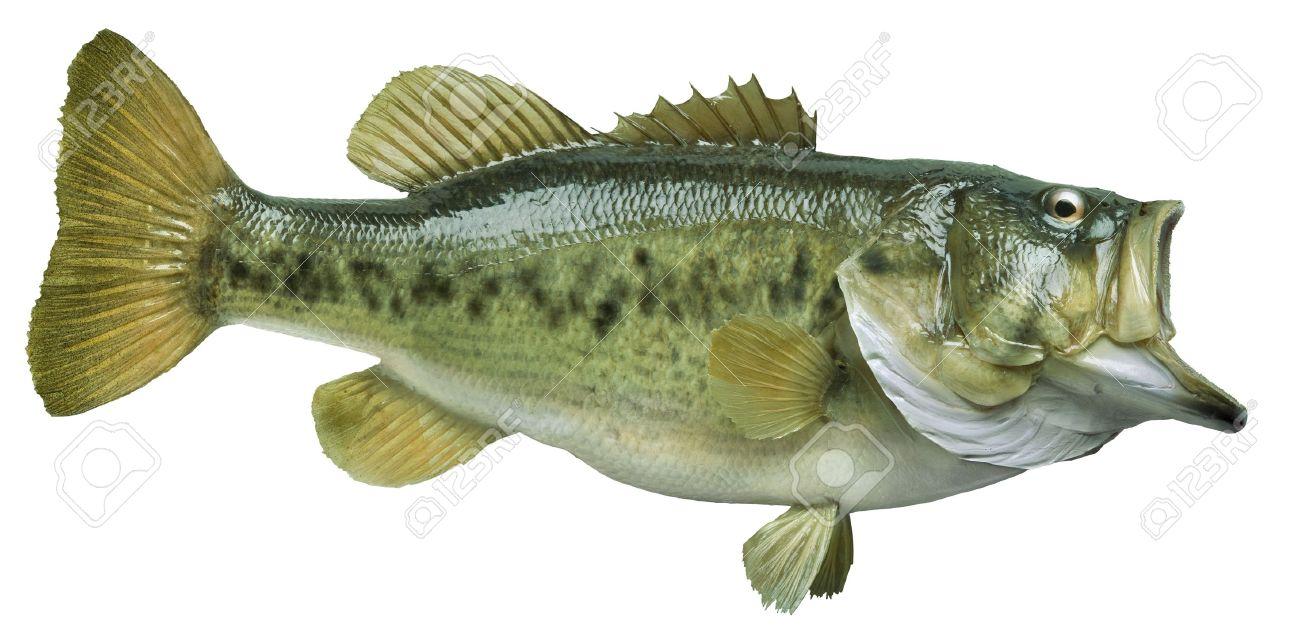 A Big Largemouth Bass Isolated On White Background Stock Photo ...