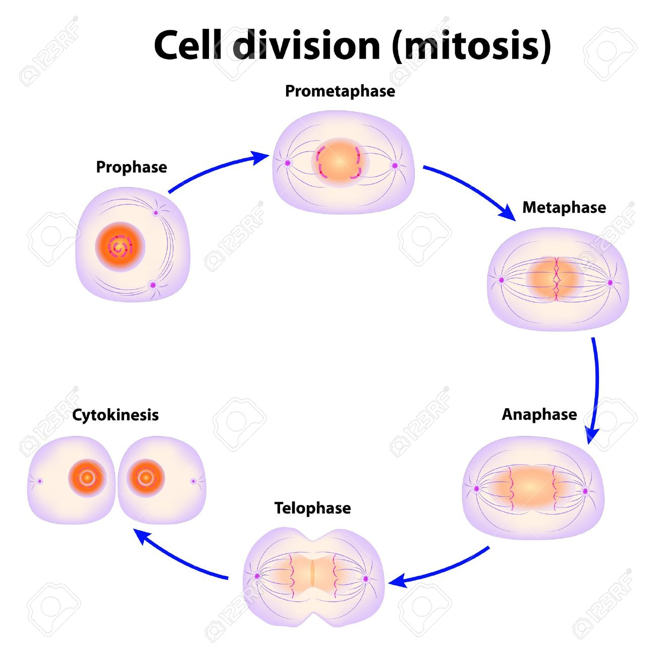 Cell division mitosis scheme royalty free cliparts vectors and cell division mitosis scheme stock vector 15085342 pooptronica Gallery