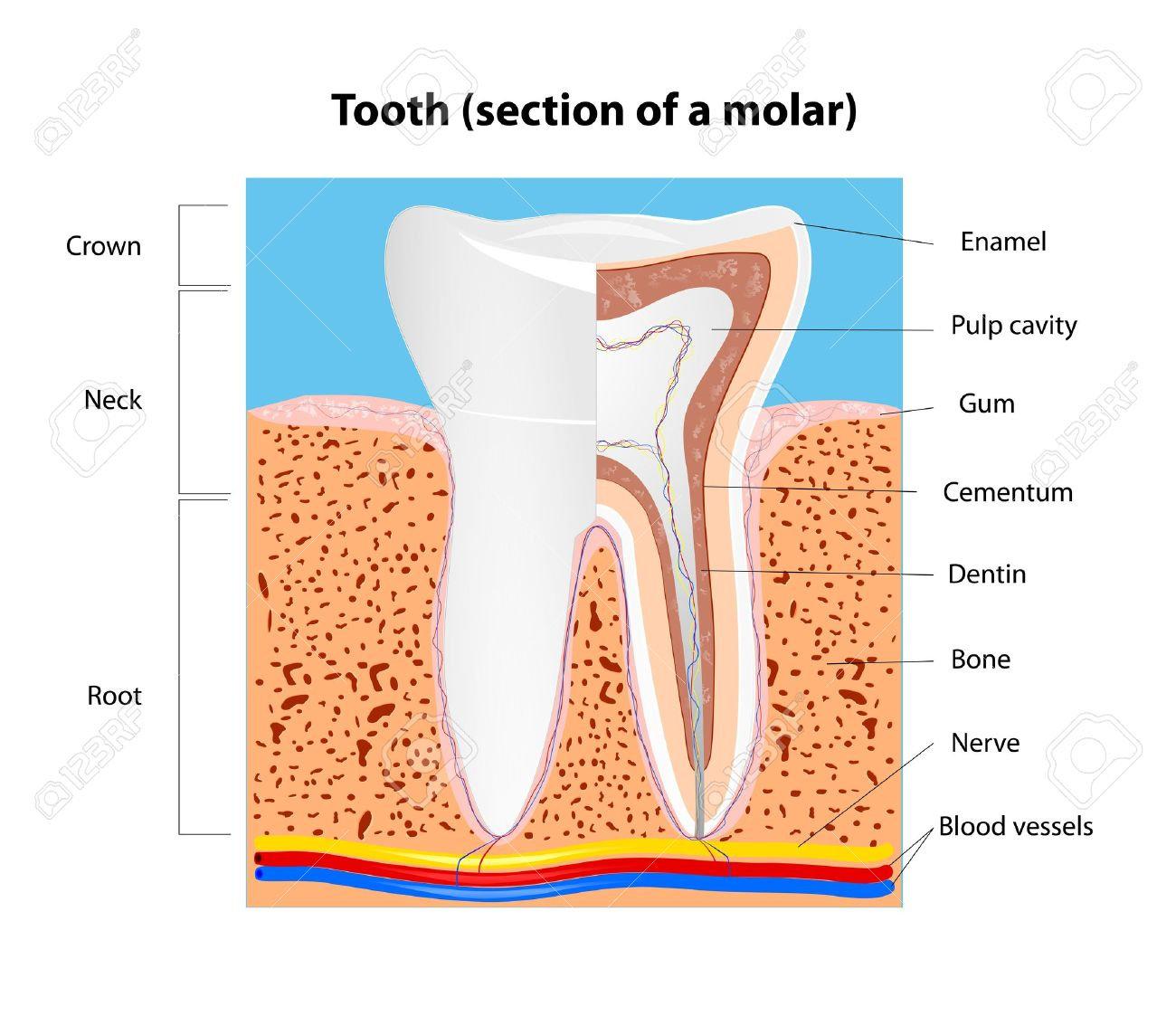 Tooth Anatomy Section Of A Human Molar Royalty Free Cliparts ...