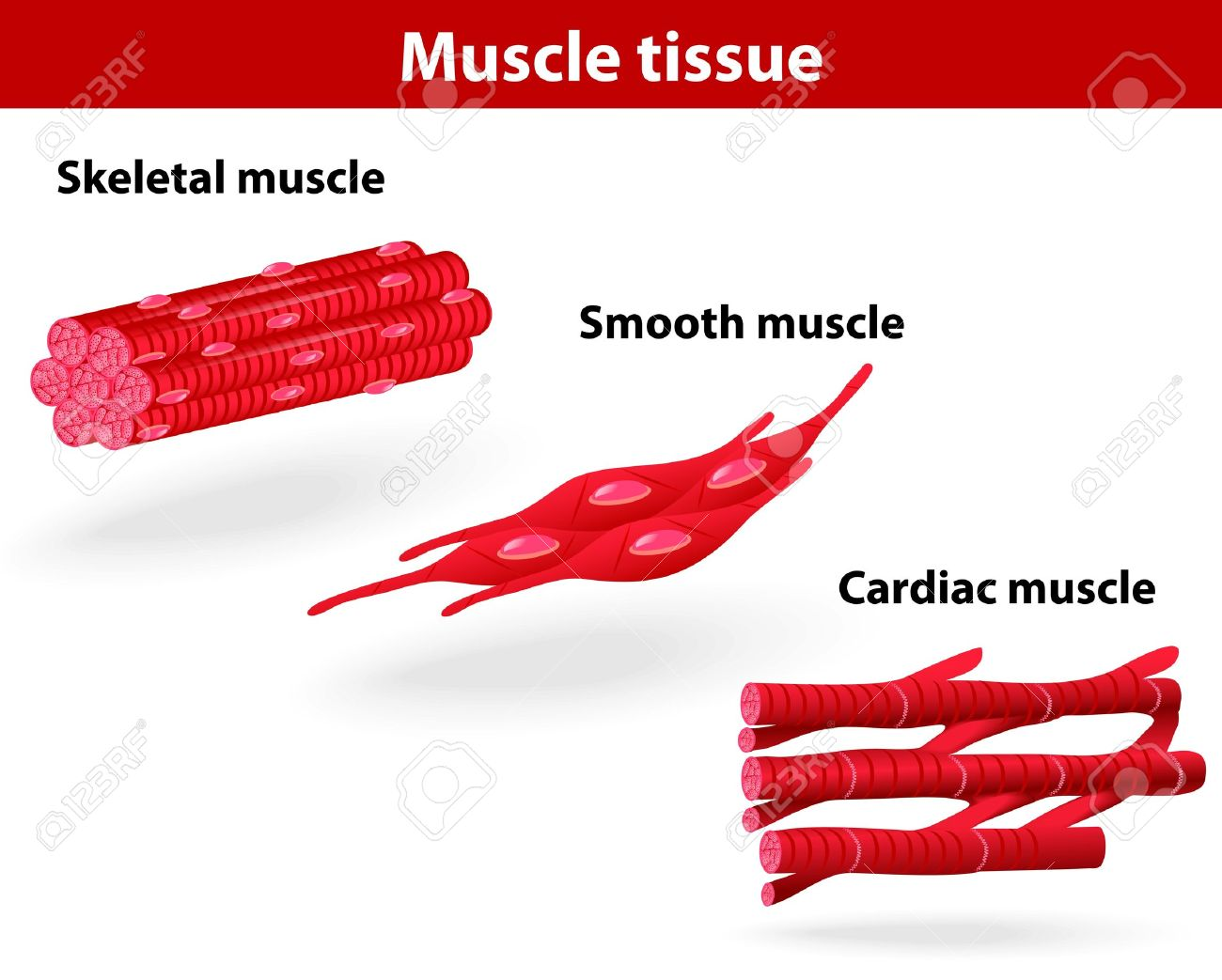 Types Of Muscle Tissue Skeletal Muscle Smooth Muscle Cardiac