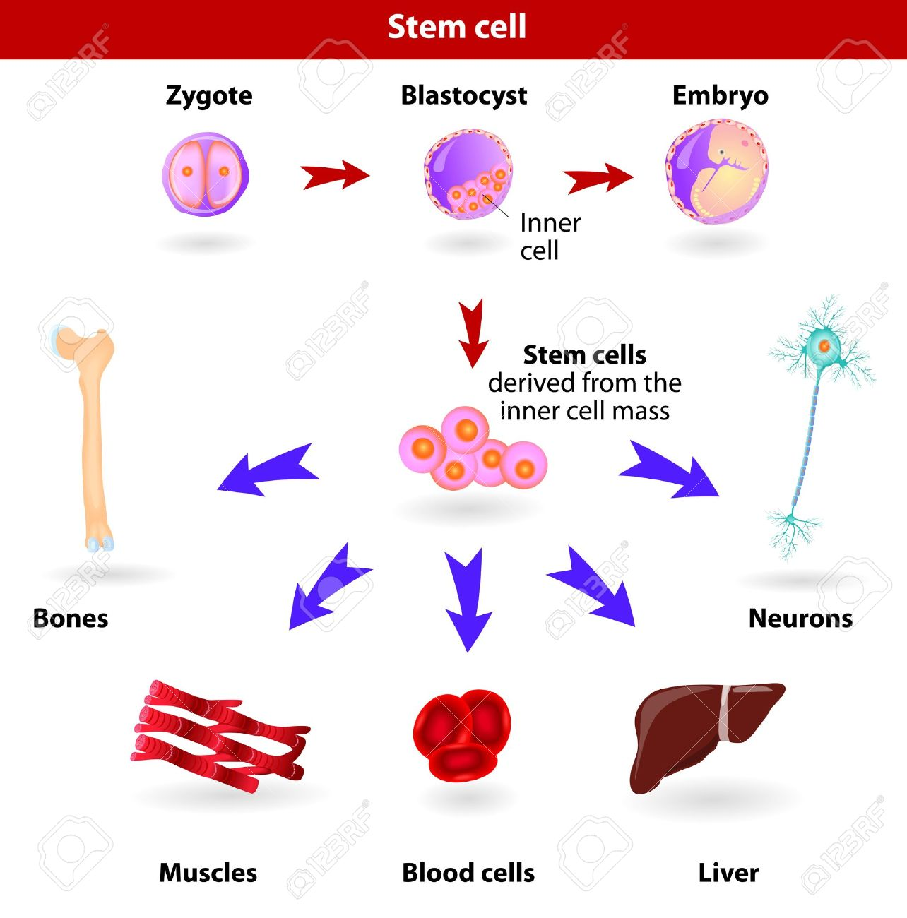 Pluripotent, embryonic stem cells originate as inner cell mass cells within a blastocyst  These stem cells can become any tissue in the body, excluding a placenta Stock Vector - 17878657