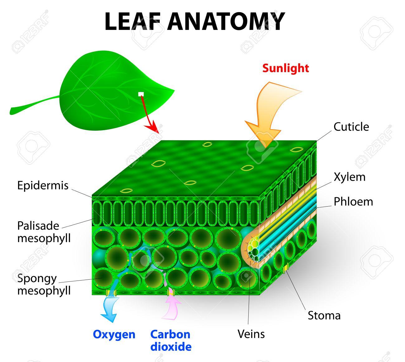 Hoja Anatomía Vector De Diagrama De La Fotosíntesis Clorofila Es La ...