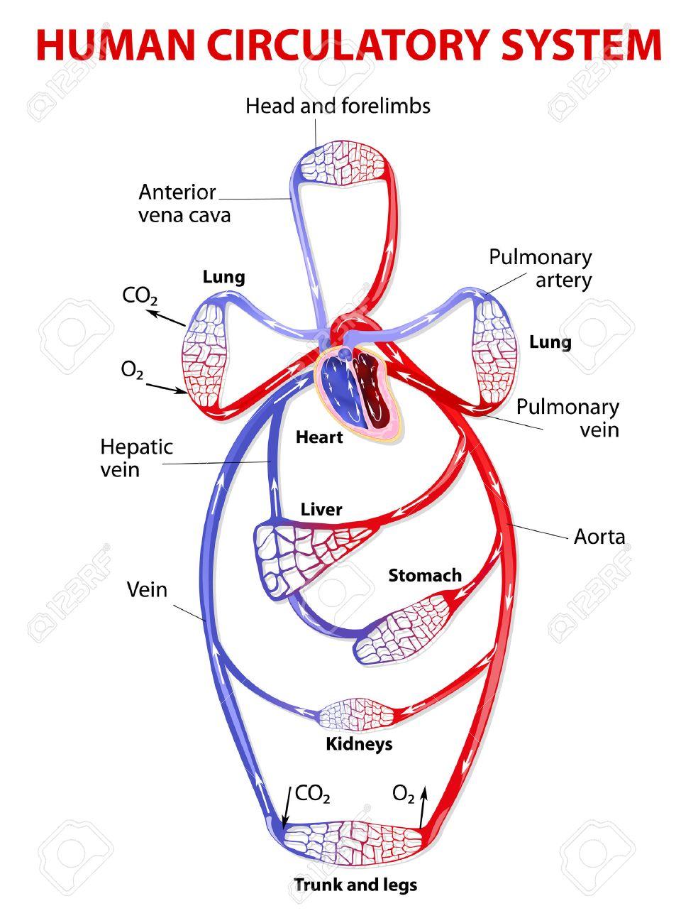 El Sistema Circulatorio Cardiovascular Transporta El Alimento, Las ...