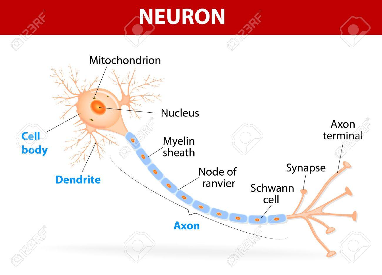 Anatomía De Una Neurona Humana Típica (axón, Sinapsis, Dendritas ...