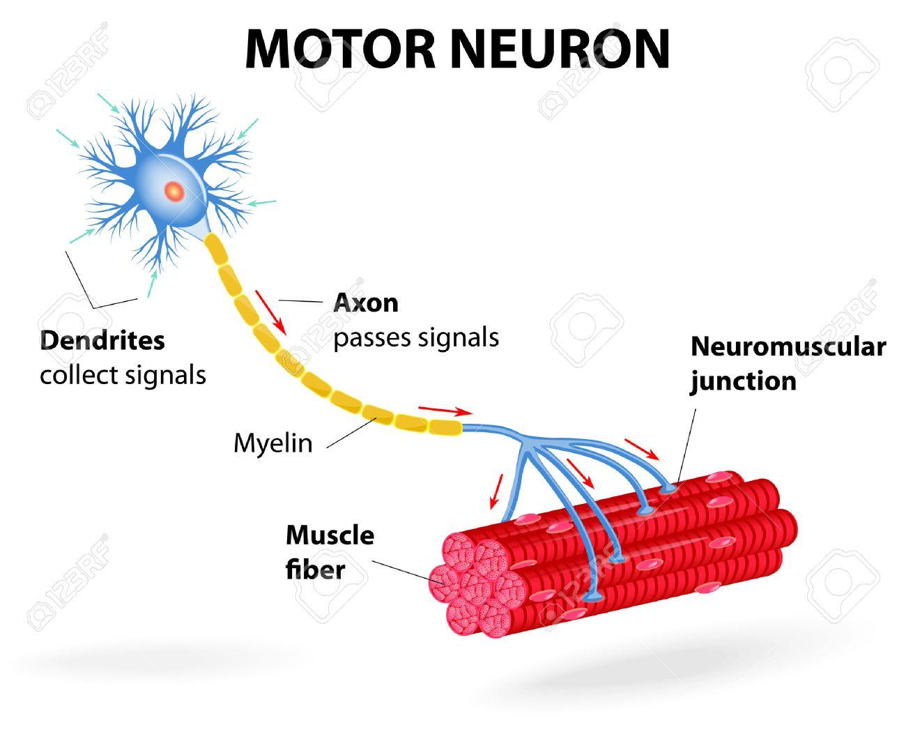 Struktur Motoneuronen. Vektor-Diagramm. Fügen Dendriten, Zellkörper ...