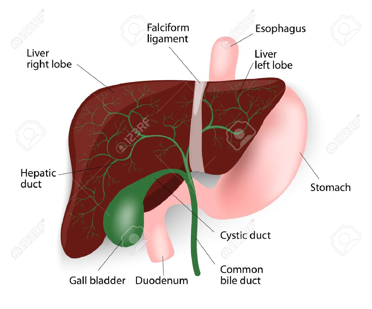 Human Liver Anatomy. Liver, Gallbladder, Esophagus, Stomach And ...
