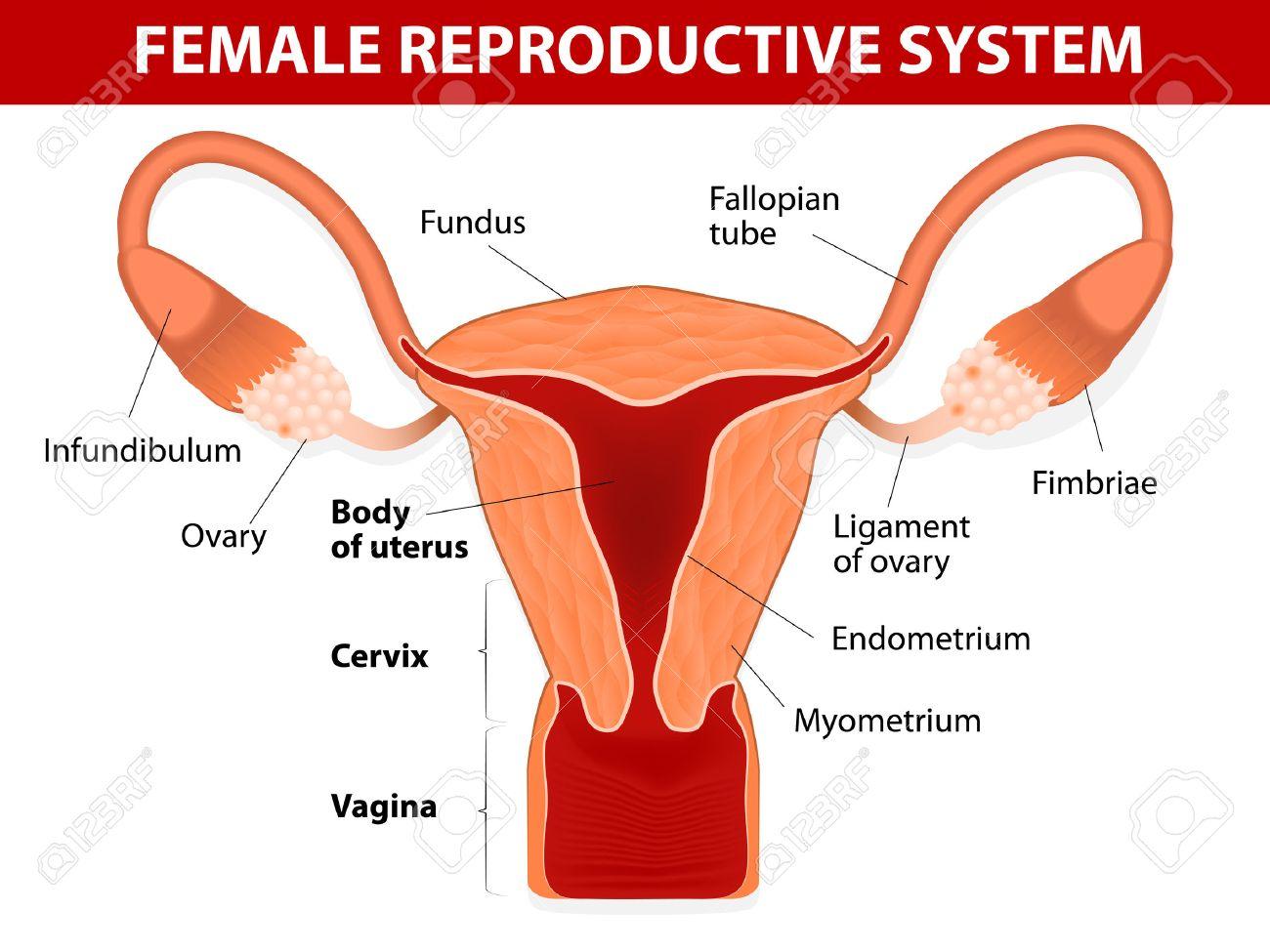 Anatomía Humana Del Sistema Reproductivo Femenino útero Y Las ...