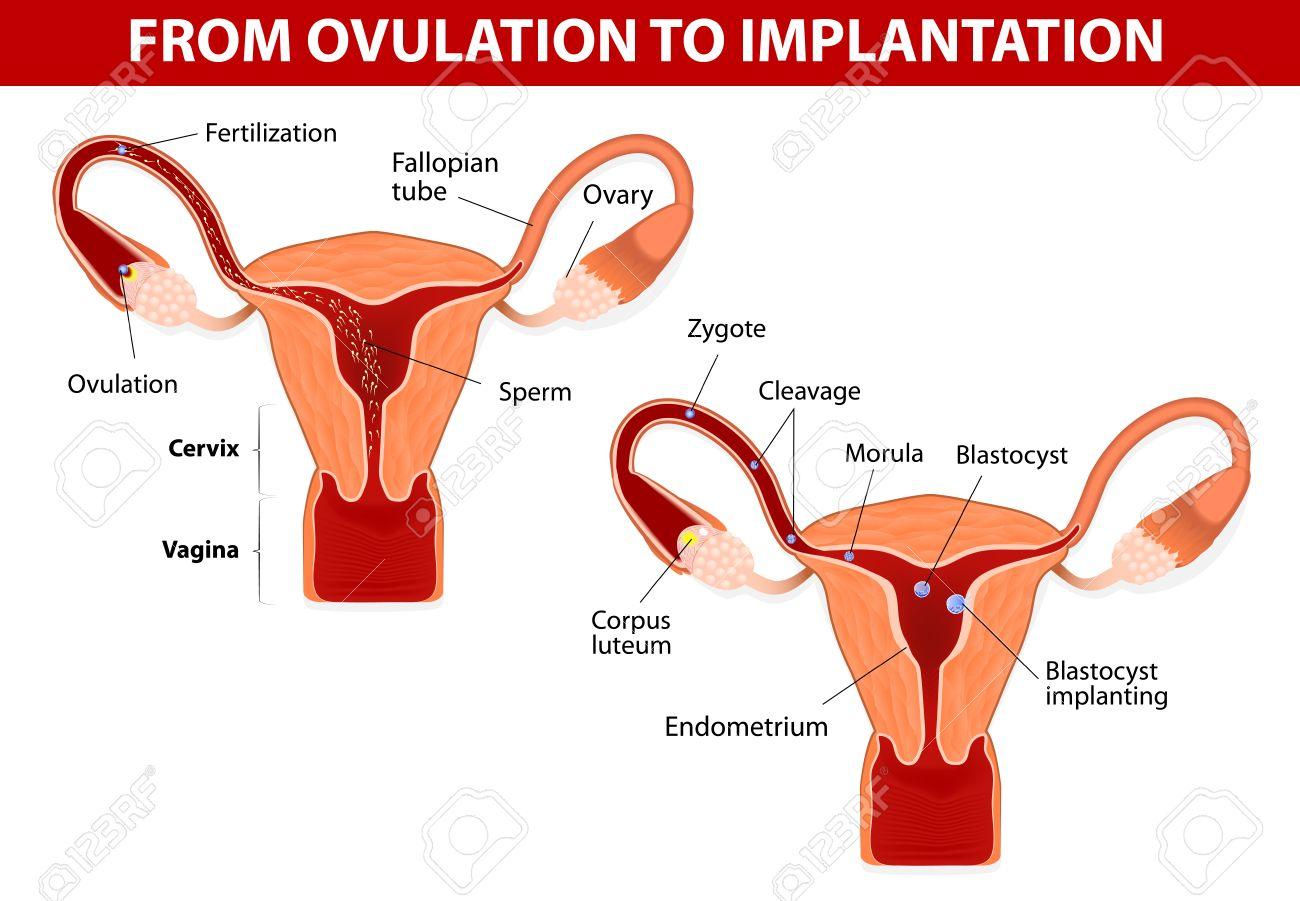 El Desarrollo Humano De La Anatomía Del Embrión Desde La Ovulación ...