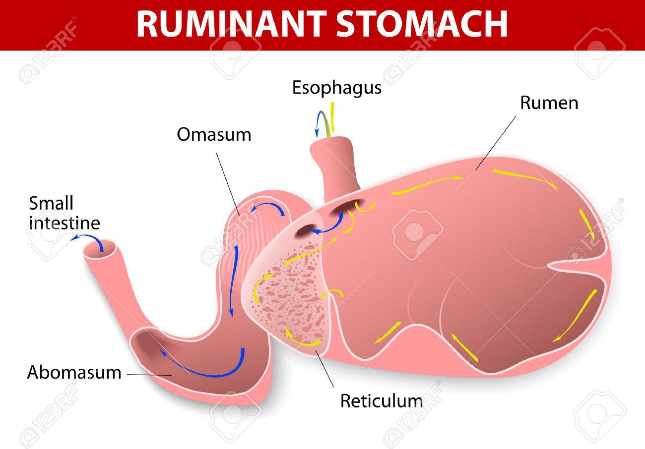 El Estómago De Rumiantes Las Especies De Rumiantes Haber Un Estómago ...