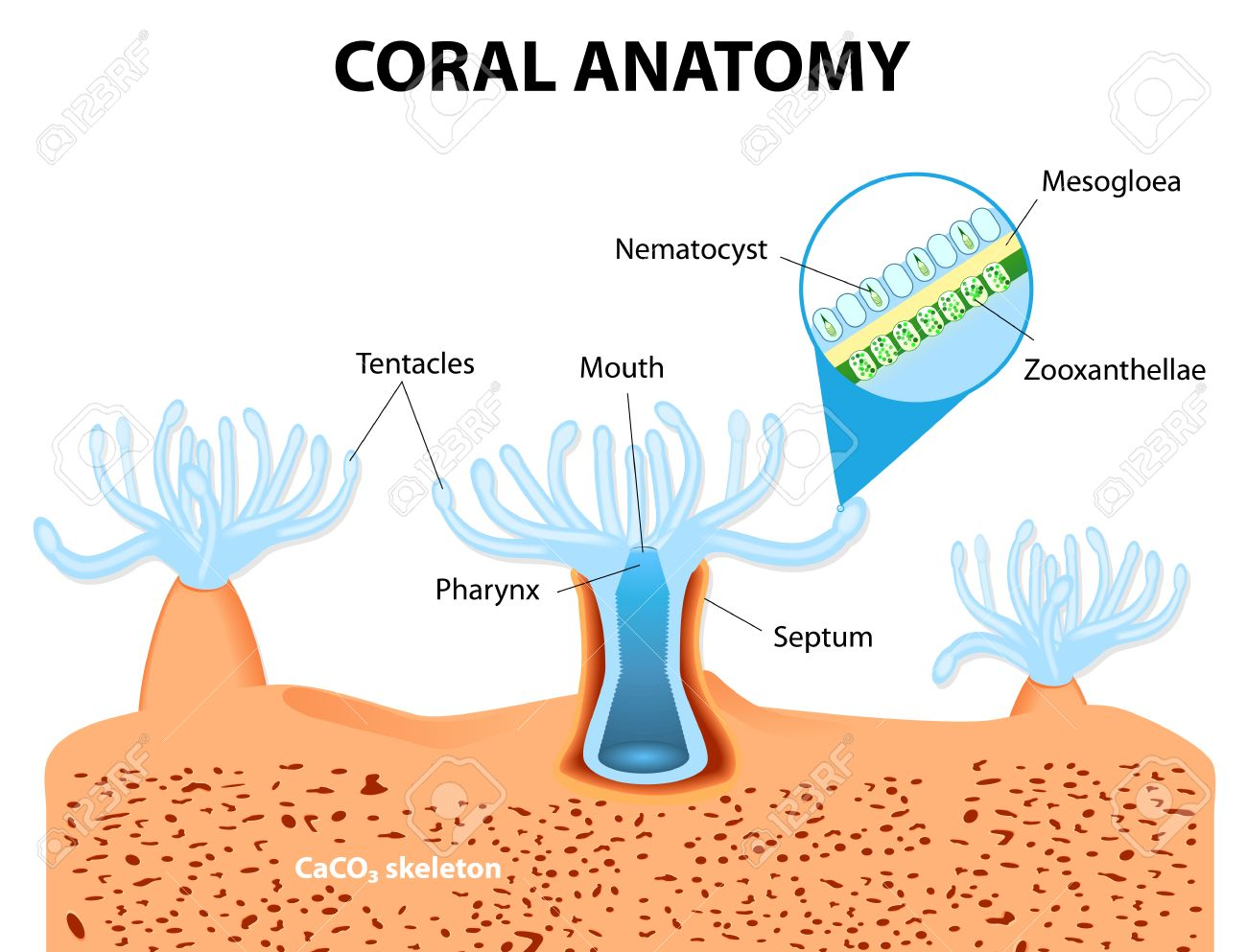 Structure Coral Polyp. Coral Anatomy. The Coral Polyps Tend To ...