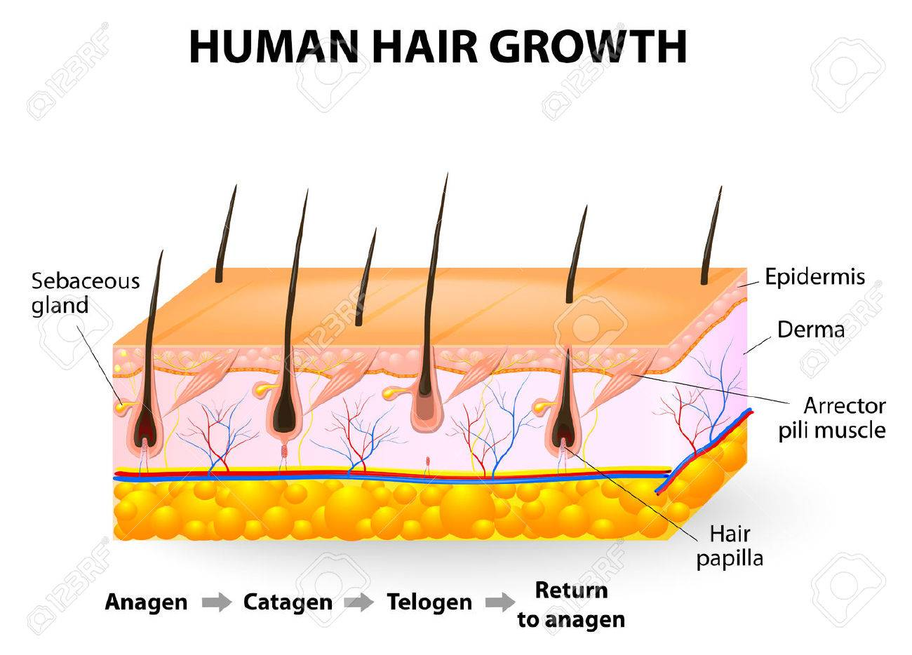 Human hair follicle stock photos royalty free business images hair follicle cycling anagen catagen and telogen illustration pooptronica Choice Image