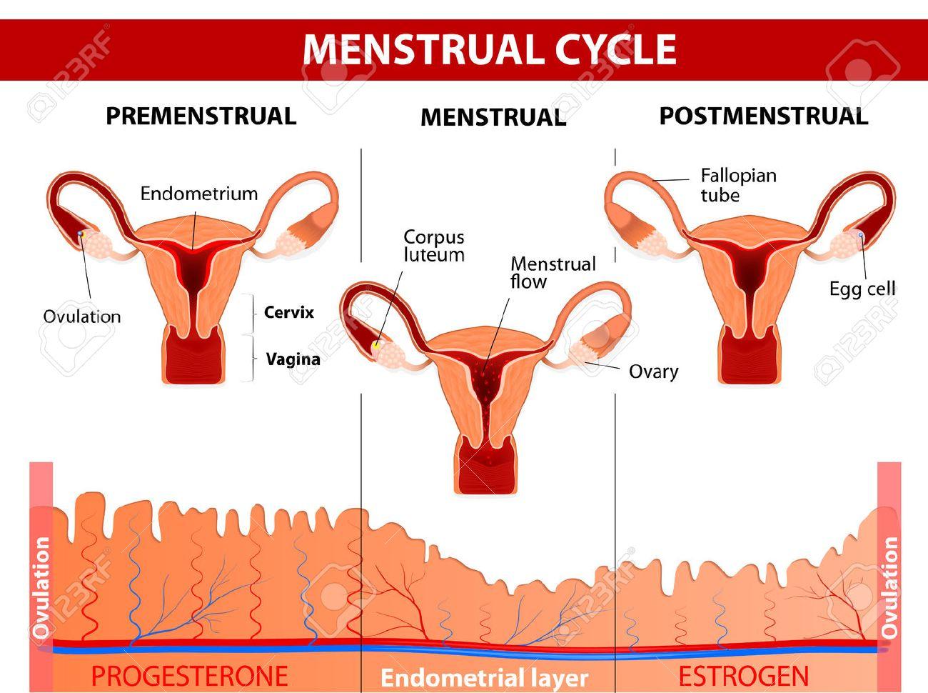 Ciclo menstrual ovulacion y menstruacion
