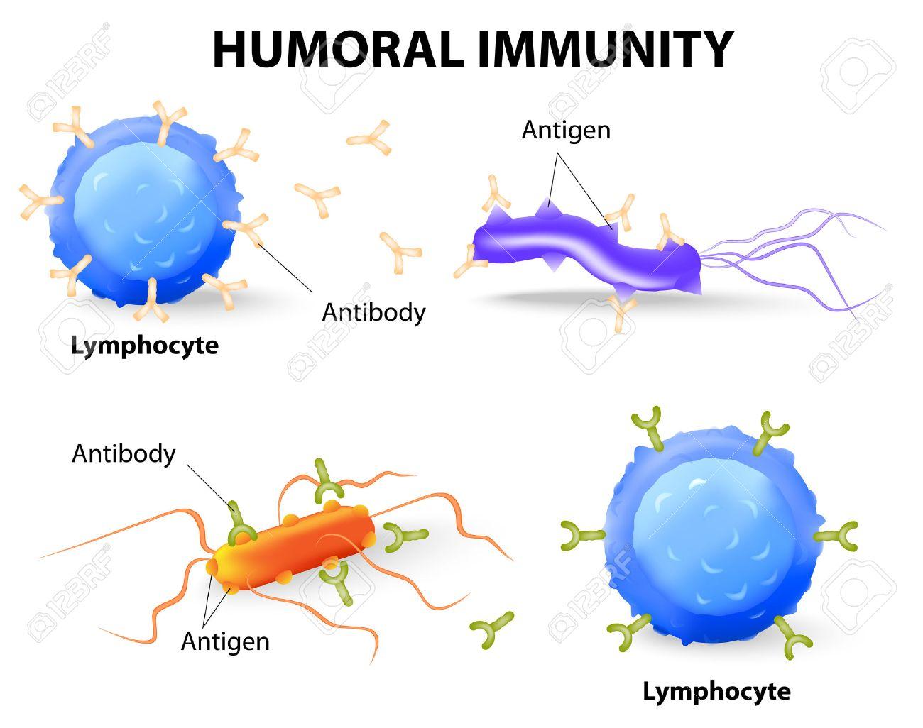 Humorale Immunität. Lymphozyten, Antikörper Und Antigen ...
