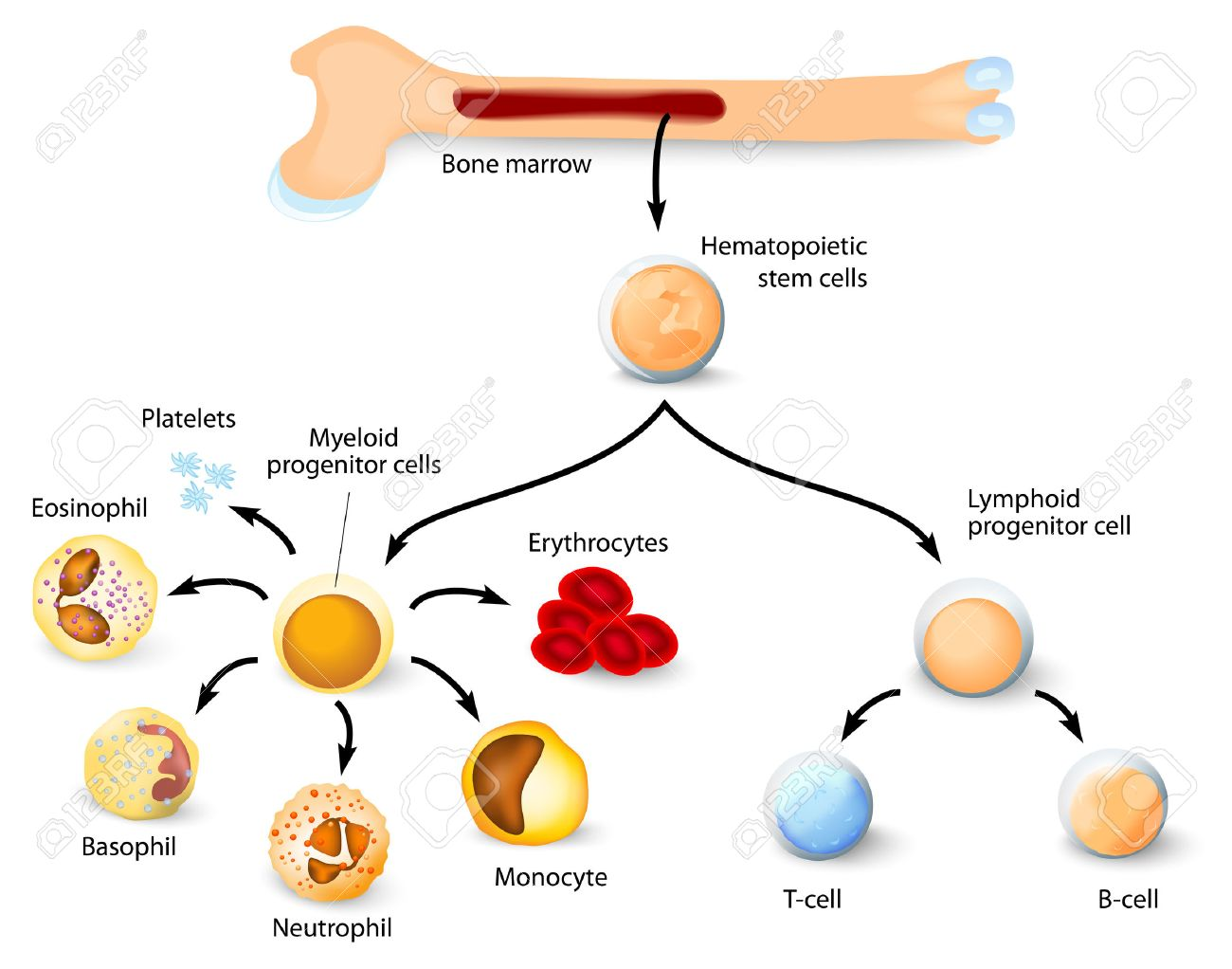 Blood cell formation from differentiation of hematopoietic stem blood cell formation from differentiation of hematopoietic stem cells in red bone marrow stock vector ccuart Gallery