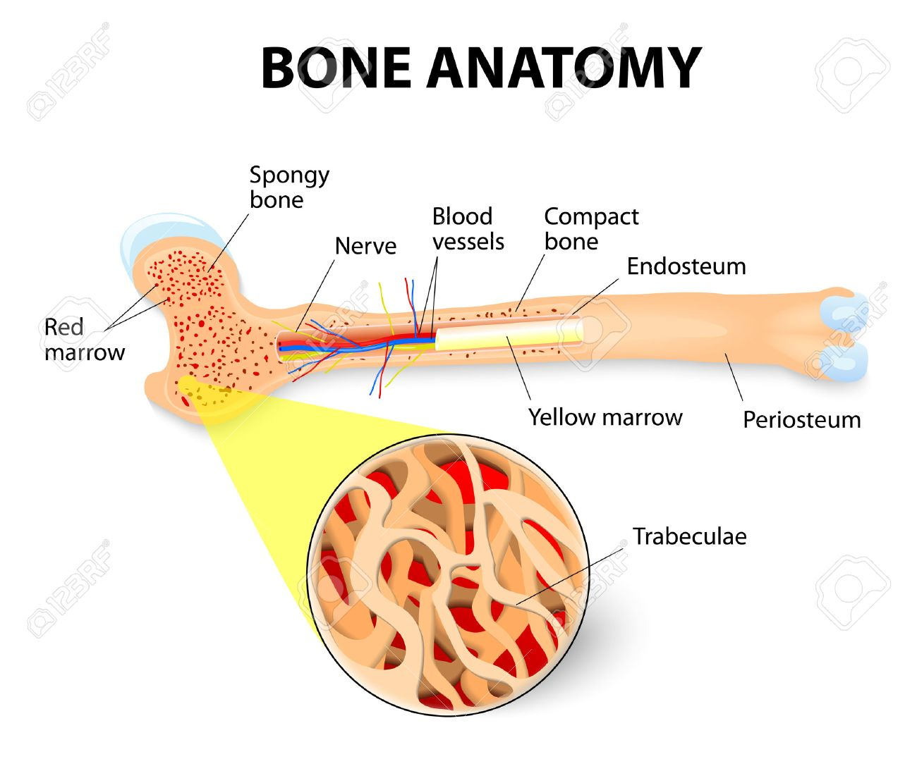 anatomy of the Long Bone. Periosteum, endosteum, bone marrow and trabeculae. - 27278068