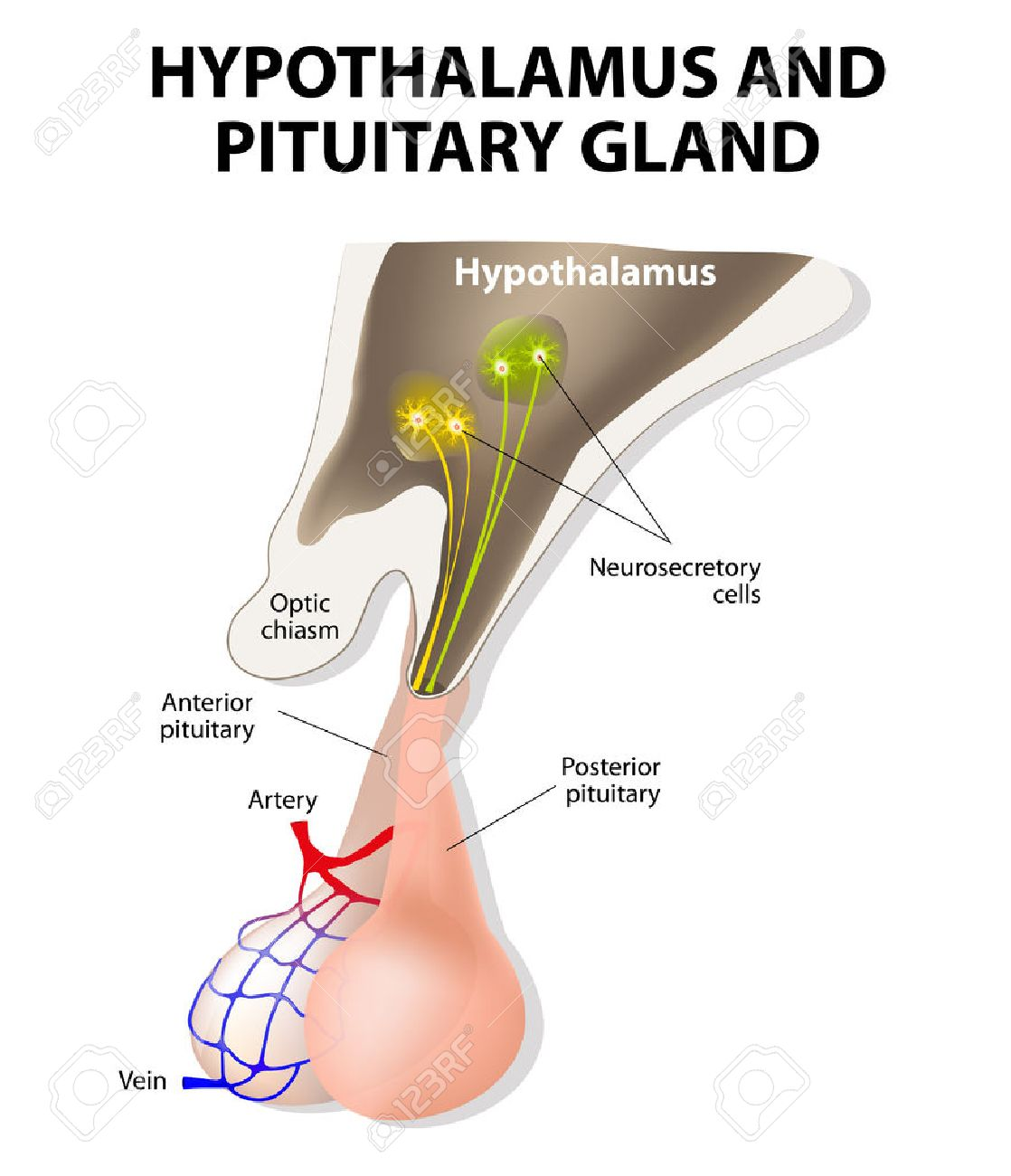 Pituitary Gland Is Connected To The Hypothalamus Via A Stalk