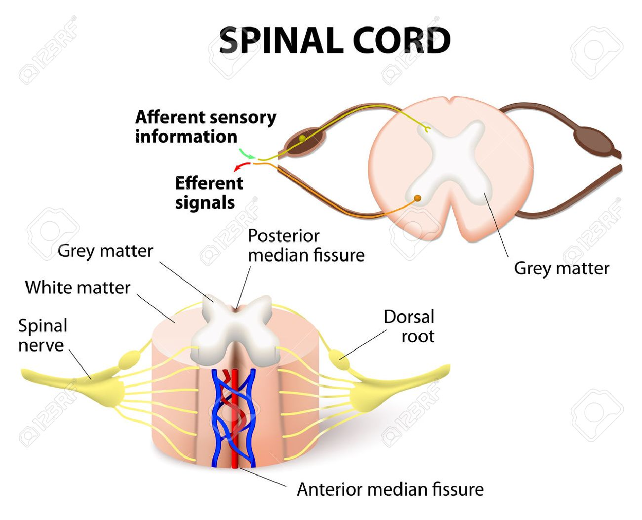 Cross Section Of Spinal Cord Central Nervous System Royalty Free