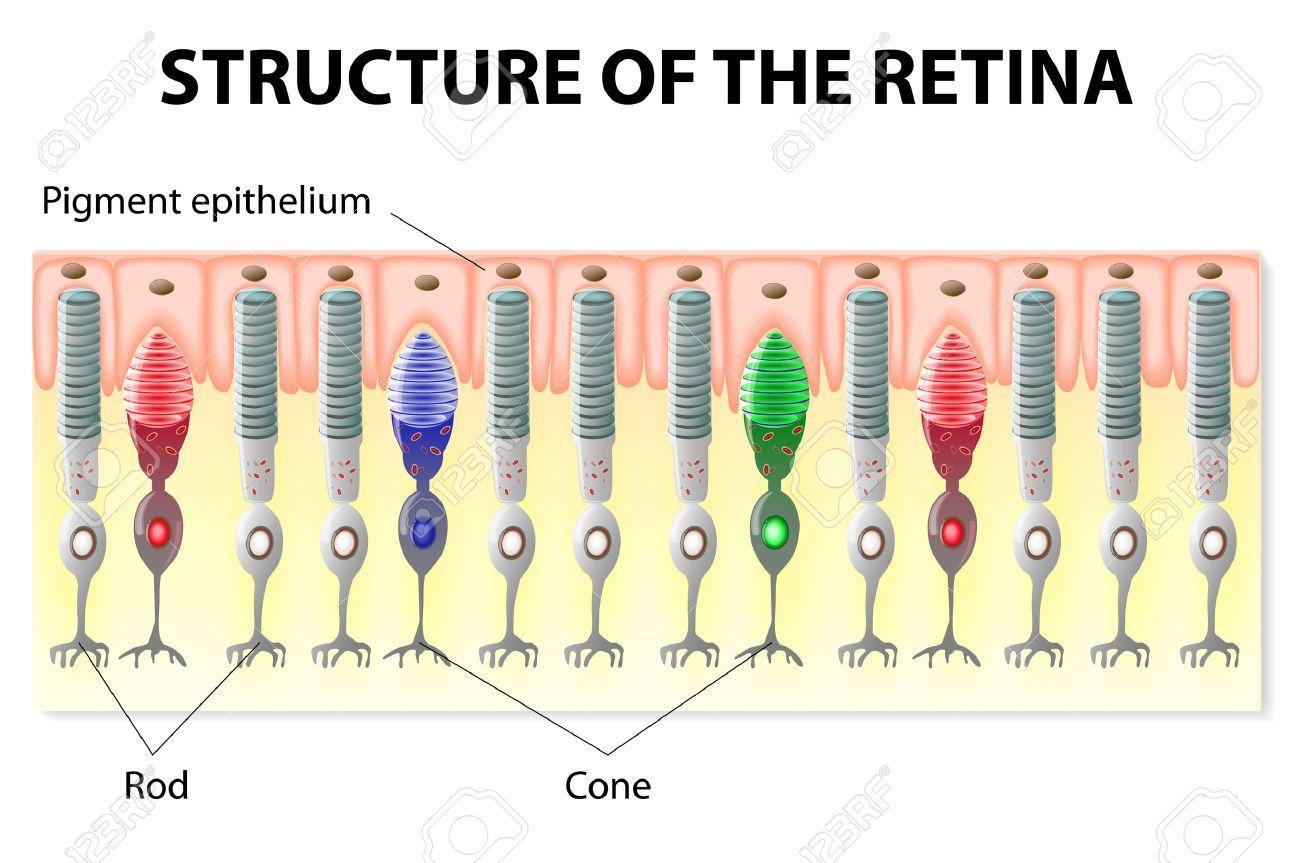 Auge Und Sehen. Struktur Der Netzhaut. Stäbchen Und Zapfen ...