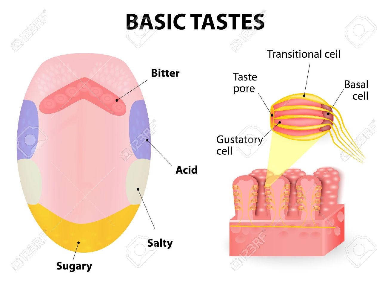 Human Tongue. Taste Receptors Of The Tongue Are Present In Papillae ...
