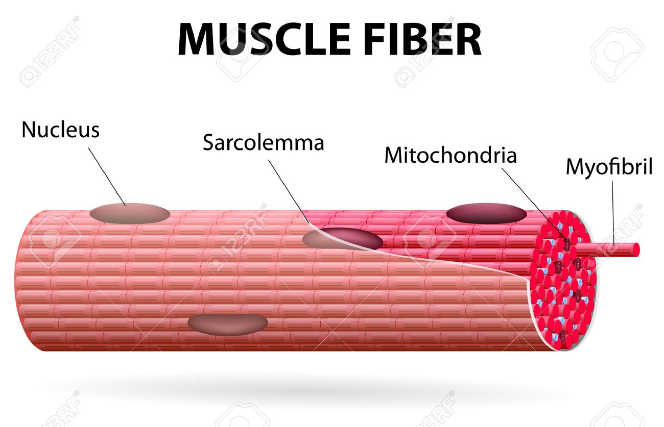 Skeletal Muscle Cells Are Tubular They Have Multiple Nuclei