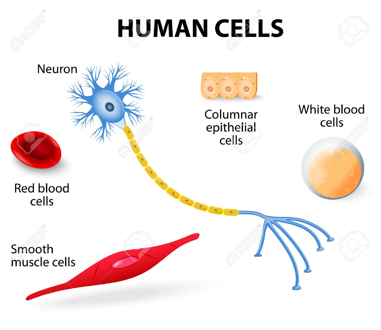 Anatomy Of Human Cells Neuron, Red And White Blood Cell, Columnar ...