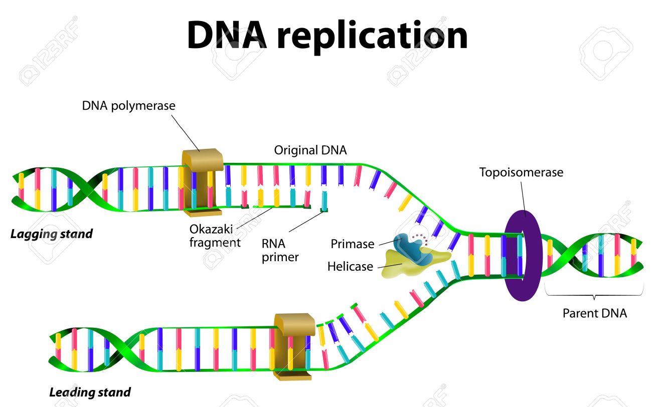 Dna Replication 3d DNA replication  Vector Vector