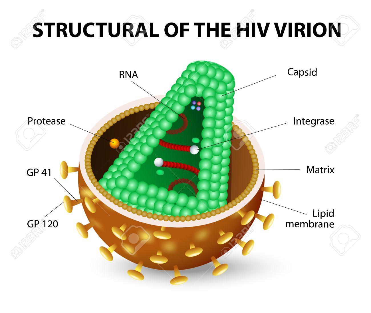 Das Menschliche Immunschwäche-Virus Oder HIV. Anatomie Des AIDS ...