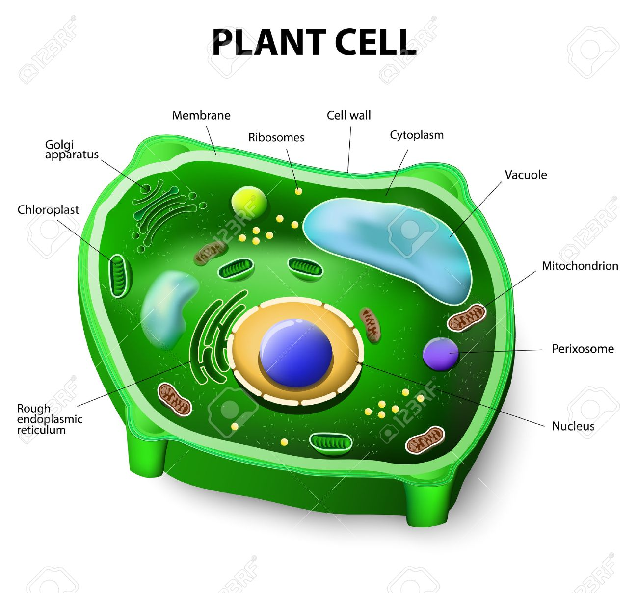 Image result for plant cell